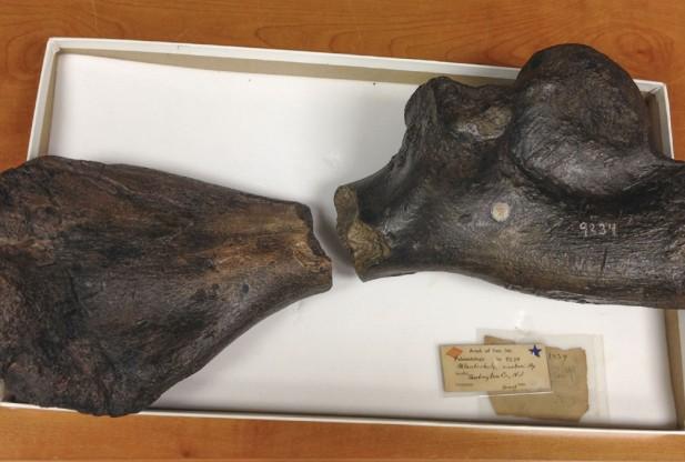 Atlantochelys-mortoni-bones-617x416[1]