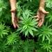 Да се легализира марихуаната, но само и единствено с медицинска цел!