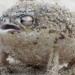 Пустинната дъждовна жаба: Опасен звяр или сладка пискаща играчка?