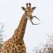 Защо този жираф е лапнал череп на антилопа?