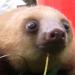 Сладки пискливи бебета ленивци