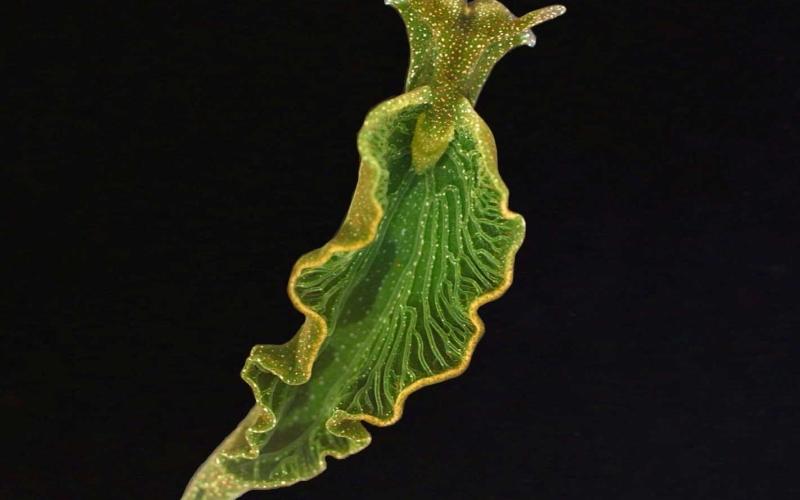 Морски плужек краде гени от водорасли