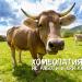 Хомеопатията не помага… и на кравите