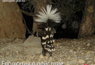 Петнистите скунксове еволюират в три отделни групи