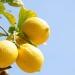 Как лимоните създадоха най-голямата криминална организация
