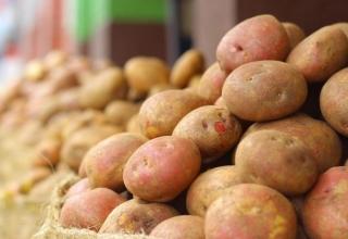 Модифицирани картофи редуцират с до 90% използваните фунгициди